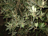 Olive tree in the mountain