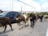 cows promenading