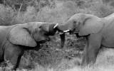 elephant bulls sparring mono.jpg