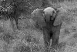 baby elephant mono.jpg