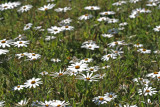 daisies sandveldt.jpg