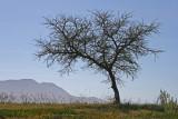 Acacia karoo.jpg