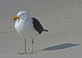 Kelp gull 2.jpg