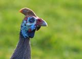 helmeted guinea fowl 1.jpg