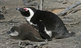 African penguin and chick.jpg