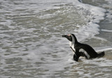 african penguin swimming.jpg