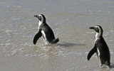 african penguins 4.jpg