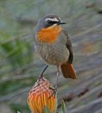Cape robin 3.jpg