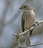 spotted flycatcher 2.jpg