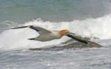 cape gannet 4.jpg