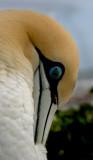 cape gannet.jpg