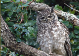 spotted eagle owl.jpg