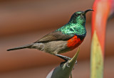 greater double collared sunbird 4.jpg