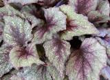 Begonia leaf 5.jpg