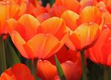 Tulip apricot impression.jpg