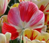 tulip burning heart.jpg
