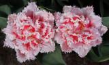 tulip Queensland.jpg