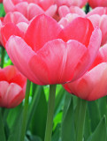 tulip Pink impressions.jpg