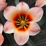 Tulip girlfriend.jpg