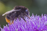 red tailed bumble bee 2.jpg