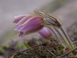 spring pasque flower 4.jpg