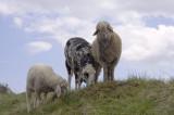 conservation grazing.jpg