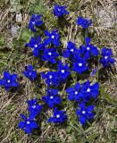 spring gentian.jpg