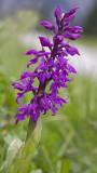 early purple orchid.jpg