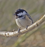 01 January coal tit.JPG