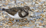 03 March turnstone.JPG