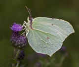 07 July brimstone female.jpg