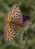 08 August dark green fritillary.JPG