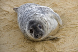 12 December seal pup on beach.JPG