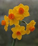 Narcissus Sol dOr 4.jpg