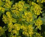 Euphorbia polychroma.jpg