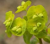 Euphorbia amygdaloides 2.jpg