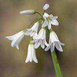 Allium triquetrium 2.jpg