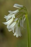 Allium triquetrium.jpg