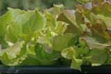 lettuce mix.jpg