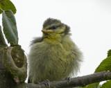 bluetit chick 4.jpg