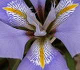 Iris unguicularis 2.jpg