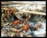 1670DSC04771 Myror och larv.jpg