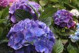 Hydrangeas at Lombard