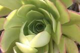 Inga's Garden Succulent