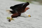 Haliaeetus vocifer -  עיט קולני