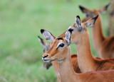 Antelope - אנטילופה