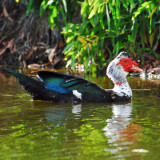 Domestic Muscovy
