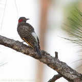 Northern Flicker