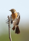 African Stonechat F