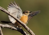 African Stonechat (f)